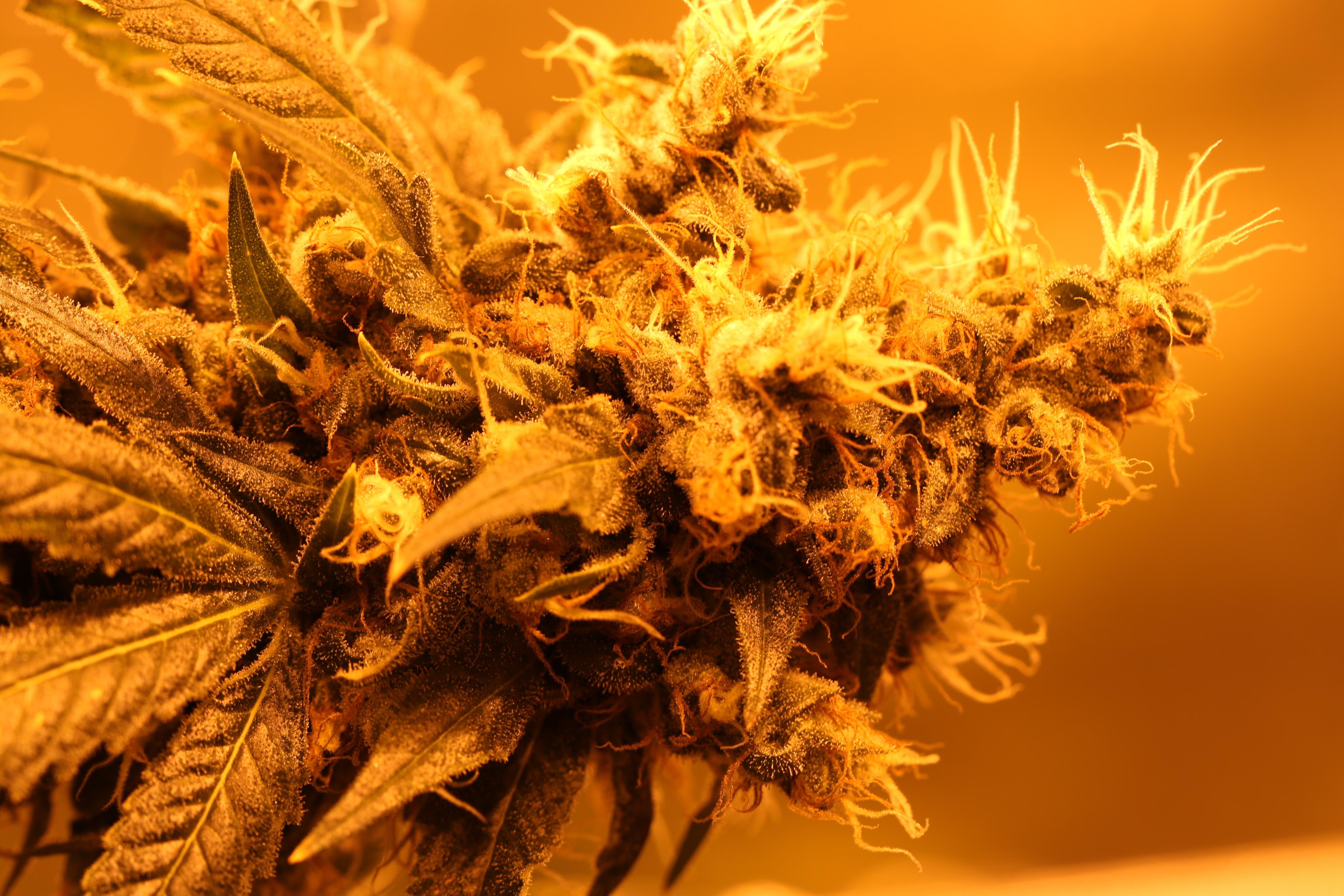 quality cannabis orange