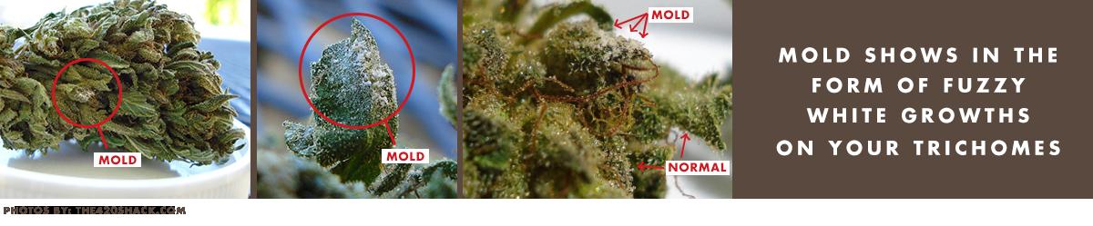 Mold on Cannabis