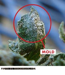 Mold on Cannabis ABcann