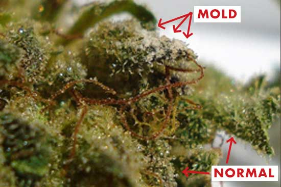What California is Teaching Us About the Impact of Mold in Cannabis Storage