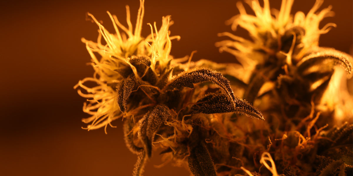 Cannabis in Grow Room