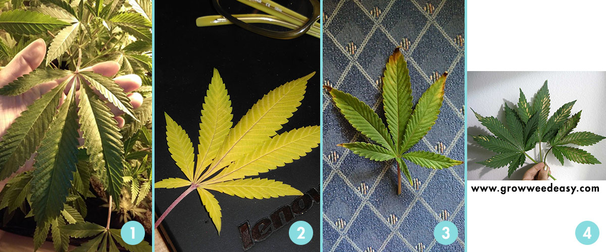 Stages of cannabis leaves.