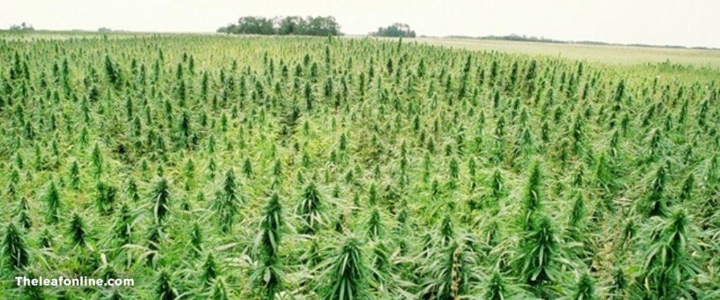 hemp field.