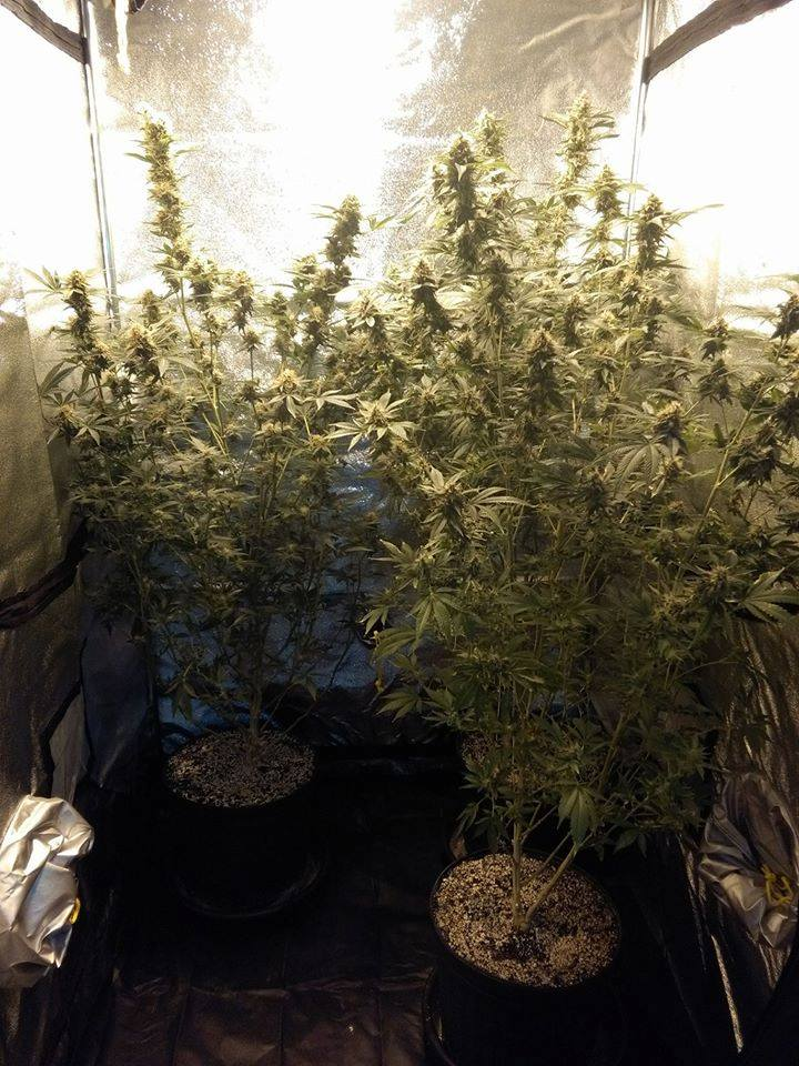 Cannabis stalks in a tent.