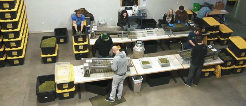 Workers at Nectar cannabis trimming and placing cannabis.