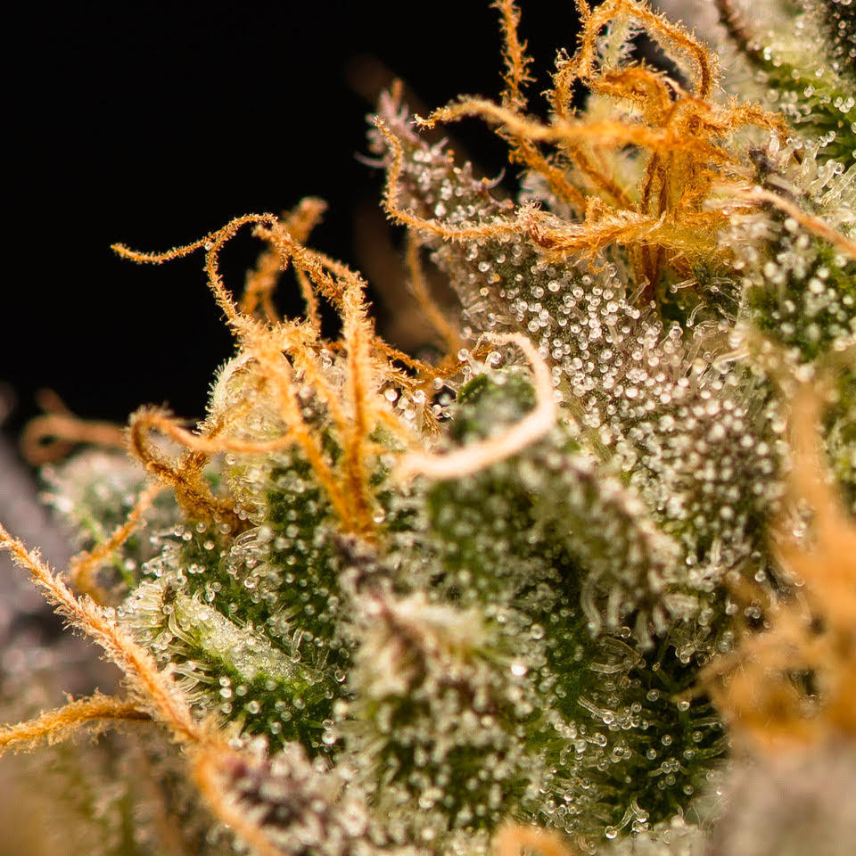 """balls known as trichomes. Trichomes are where THC, terpenes and other cannabinoids form. While growing and freshly cut, the trichome is delicate as is the thin """"skin"""" that protects its contents.  Cannabis starts to degrade immediately after harvest. Wet-trimmed flower dries quickly—in two to five days—because you're fully exposing those naked buds to oxygen and the natural process of evaporation.  So it's important to keep an eye on the bud's moisture content or you'll damage your delicate trichomes."""
