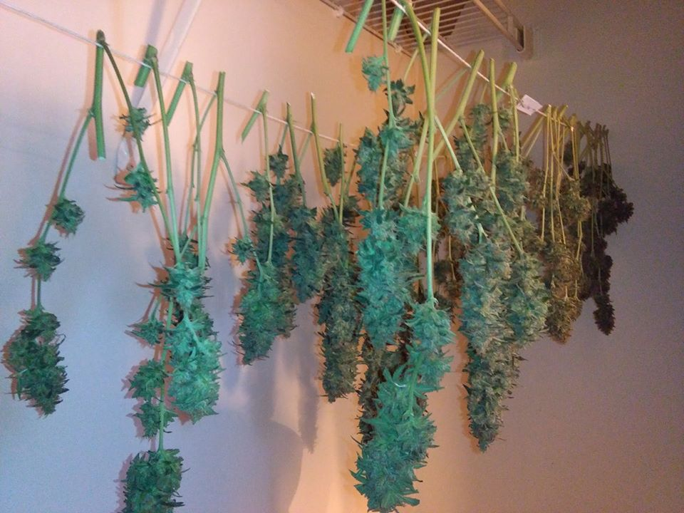 Now once my stalks were drying in the closet, where their mother plants started their lives with me, the branches dried within five days, which was way too fast.