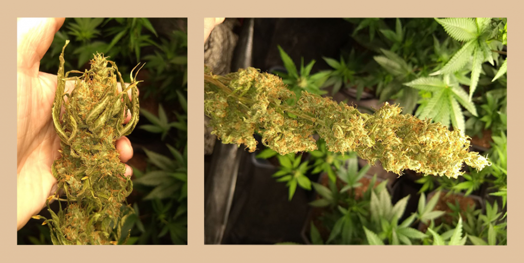 Trim off remaining leaf matter while the plants are still hanging, so you can see where the sugar leaf stems meet the flower. This  makes it easy to remove those leaves without disrupting many of the now hardened trichomes. The dried trichome's now hardened state ensures the bulbous head remains intact but is precariously brittle—handle with care and always trim with a clean tray to catch falling trichs!