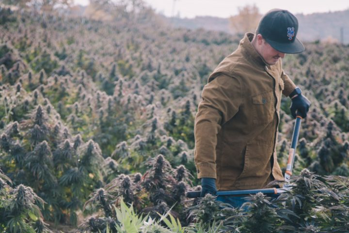 Man in field cultivating cannabis.
