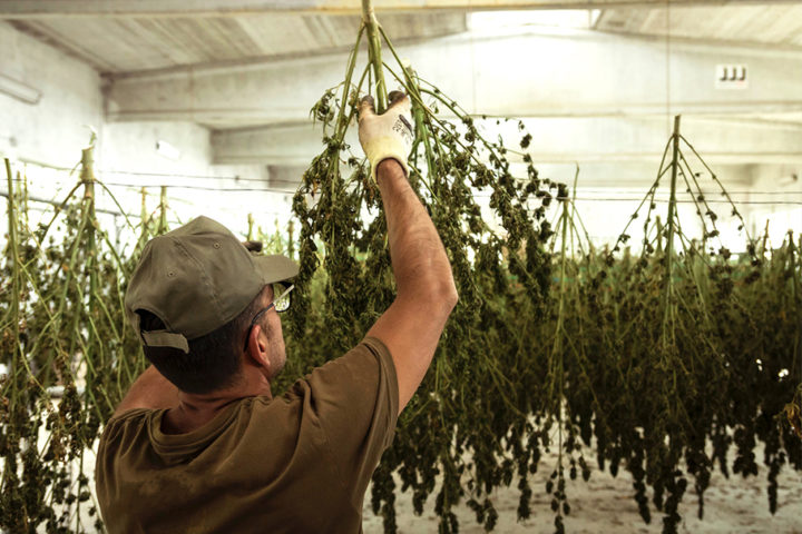 Hang drying to later dry trim hemp. Save the Terps with Boveda.