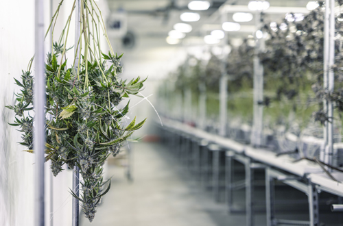 Cannabis Curing and Storing Guide