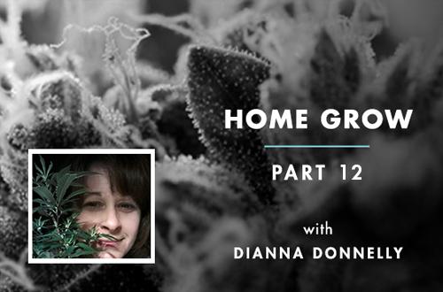 Home Grow 12: 3 Reasons to Flush Cannabis Pre-Harvest